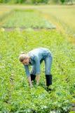 Agronomo o agricoltore della donna che lavora al giacimento della patata di estate Fotografie Stock
