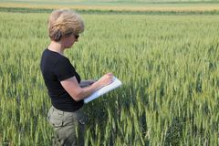 Agronomy. Agricultural expert inspecting quality of wheat royalty free stock photos