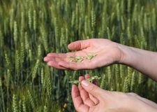 Agronomy. Quality of wheat inspecting, hands with fresh grain royalty free stock photography