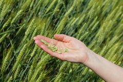 Agronomy. Quality of wheat inspecting, hands with fresh grain royalty free stock photo