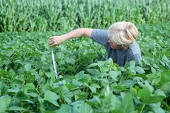 Agronomy. Female agricultural expert inspecting quality of soy royalty free stock images
