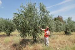 Agronomy. Female agricultural expert inspecting quality of olive tree in olives orchard royalty free stock photos