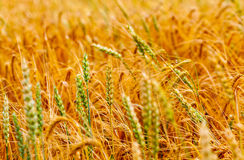 Agronomy. Corn background - cereals crop agronomy stock photo