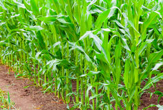 Agronomy. View of corn field - maize royalty free stock photography