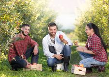 Agronoom en landbouwers in appelboomgaard stock foto's