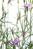 Agrostemma githago jest nikłym menchii kwiatem Zdjęcie Stock