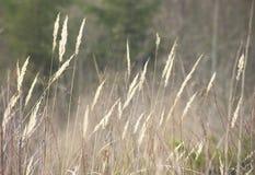 Agrostis gigantea Zdjęcia Royalty Free