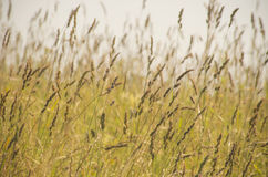 Agrostis seeds in June Royalty Free Stock Images