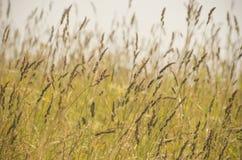 Agrostis ziarna w Czerwu Obrazy Royalty Free