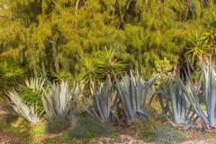 AGroup błękitne agava rośliny przy tropikalnym ogródem przeciw sośnie Fotografia Royalty Free