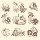 Agrume de croquis Oranges, citrons et pamplemousse, chaux Agrumes et fleur avec des feuilles Cru tiré par la main botanique illustration libre de droits