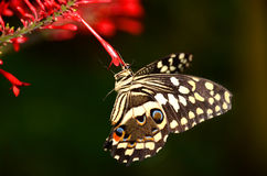 Agrume Swallowtail Fotografie Stock