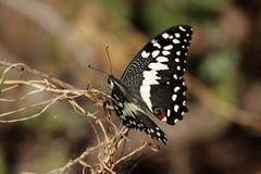 Agrume Swallowtail Fotografia Stock