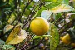 Agrumes sauvages s'élevant sur la branche d'arbre Images stock