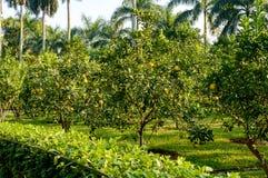 Agrumi del pomelo Fotografia Stock Libera da Diritti