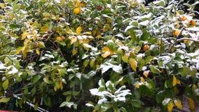 Agrumi maturi, arance, limoni, mandarini coperti in neve bianca La neve continua a cadere Inverno rigido in Italia archivi video