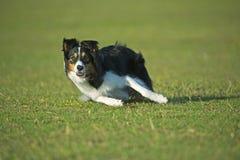 Agrupando o cão Imagens de Stock Royalty Free