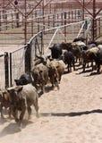 Agrupando o gado Foto de Stock
