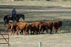 Agrupando o gado Imagens de Stock