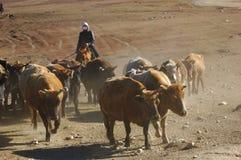 Agrupando o gado Fotografia de Stock