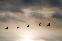 Agrupe as cisnes de whooper que dirigem ao norte em voo Imagem de Stock
