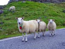 Agrupe carneiros nas montanhas na estrada, Noruega Imagens de Stock