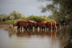 Agrupe cavalos na água Imagem de Stock Royalty Free