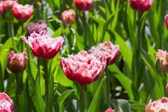 Agrupe e feche acima branco vermelho das tulipas bonitas franjadas Foto de Stock