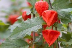 Agrupe el grupo de plantas chinas de las flores de la linterna con cierre encima de la distancia macra imagen de archivo