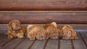 Agrupe el perro de perrito de Burdeos que miente en vista delantera cerca de la pared de madera Imagen de archivo libre de regalías
