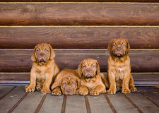 Agrupe el perro de perrito de Burdeos que se sienta en vista delantera cerca de la pared de madera Fotos de archivo libres de regalías