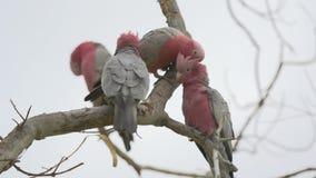 Agrupe las cacatúas de la cuadrilla-cuadrilla en un árbol en Kalbarri, Australia occidental almacen de video