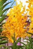 Agrupe las flores amarillas y anaranjadas de la orquídea con la hoja verde Fotos de archivo