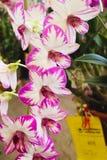 Agrupe las flores rosadas y blancas de la orquídea con la hoja verde Imagenes de archivo