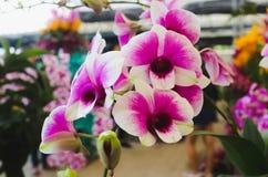 Agrupe las flores rosadas y blancas de la orquídea con la hoja verde en el GA Imagenes de archivo