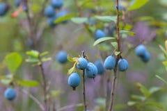 Agrupe los arándanos salvajes suaves frescos en el bosque Foto de archivo libre de regalías