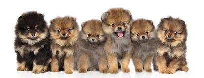 Agrupe los perritos del perro de Pomerania que presentan en un fondo blanco Fotografía de archivo libre de regalías