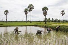 Agrupe o arroz ereto da planta do fazendeiro asiático no campo Fotografia de Stock Royalty Free