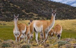 Agrupe o guanaco no parque nacional Torres del Paine chile Imagens de Stock Royalty Free