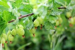 Agrus in the garden close-up. Gooseberry royalty free stock photos