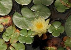 Agua amarilla Lilly y pistas de Lilly Fotos de archivo