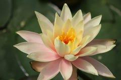 Agua amarilla Lily In The Sunlight imagen de archivo