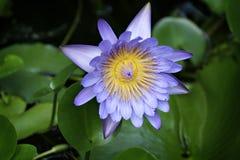 Agua azul lilly contra un fondo verde de hojas Imagen de archivo libre de regalías