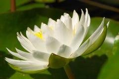 Agua blanca Lilly Imagenes de archivo