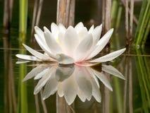 Agua blanca Lilly Imágenes de archivo libres de regalías
