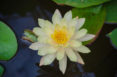 Agua colorida lilly en la charca Fotografía de archivo
