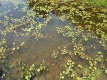 Agua con las plantas y los pescados anaranjados Imagen de archivo libre de regalías