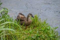 Agua de Duck Going Out Of The del japonés fotografía de archivo
