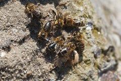 Agua de la bebida de las abejas Imágenes de archivo libres de regalías