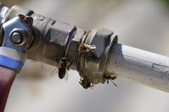 Agua de la bebida de las avispas y de las abejas del Polistes Fotografía de archivo libre de regalías